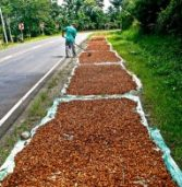 Davao aims to be top cacao producer in PH