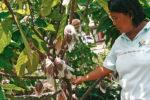 Marilyn Carubio, Technical Adviser of the Cocoa Foundation of the Philippines' Cacao Agribusiness Zone Center checks on the cacao fruits in Talandang, Tugbok District, Davao City on Thursday, September 29, 2011. She said a single cacao tree can yield 1.5 to 2 kilograms of dry beans per harvest which can be sold at P125 a kilo. An hectare of land can be planted with up to 1000 cacao trees. MindaNews Photo by Ruby Thursday More