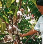 Davao taps small farmers in bid to become PH's top cacao producer
