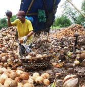 Coco farmers tied to traditional products