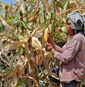 Region 12 corn production valued at P15.6B