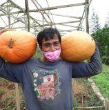 Davao-grown pumpkins