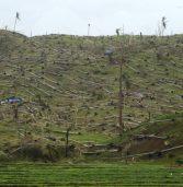 PCA-11 eyes replanting of coconut trees in 40,000 ha