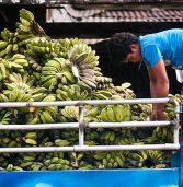 Cardava Bananas