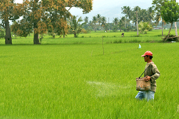 A farmer applies fertilizer on the ricefield within the Philippine Rice Research Institute compound in Barangay Bual Norte, Midsayap town, North Cotabato on Wednesday, September 25. Bual Norte is an adjacent village of Palongoguen, the site of sporadic clashes between government troops and the Bangsamoro Islamic Freedom Fighters. MindaNews Photo by Ruby Thursday More