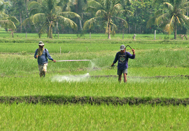 Farmers apply pesticides on the ricefield within the Philippine Rice Research Institute compound in Barangay Bual Norte, Midsayap town, North Cotabato on Wednesday, September 25. Bual Norte is an adjacent village of Palongoguen, the site of sporadic clashes between government troops and the Bangsamoro Islamic Freedom Fighters. MindaNews Photo by Ruby Thursday More