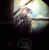 Minalwang: 4th killed among 6 Philippine Eagles released into the wild