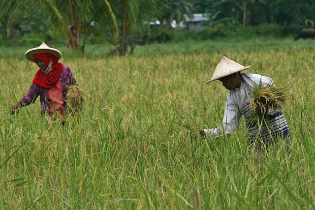 Moro women harvest rice at the village of Liong in Datu Piang, Maguindanao P on October 24. 2012. nine days after the signing of the Framework Agreement on the Bangsamoro.  They expressed hope peace would finally come. File phoot by Ruby Thursday More/MindaNews