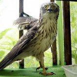 Farmers turn over eagle to DENR in Butuan