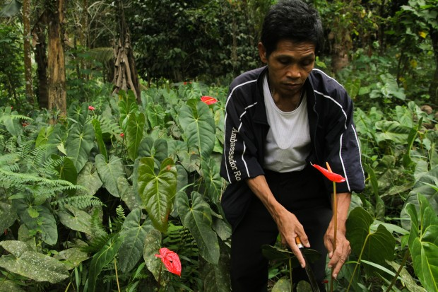 Datu Bienvenido Macalos harvests anthurium flowers at a farm in Purok 4, Barangay Batasan, Makilala, North Cotabato.