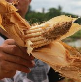 From SAF last year to rats this year: crop failure in the cornfields of Tukanalipao