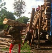 Falcata Logs