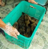 Keeping Davao City restos alive with live grouper